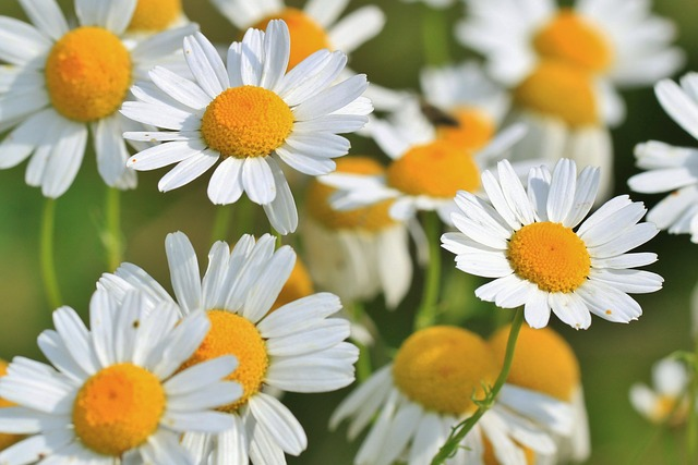 Roman Chamomile Reduces Pain and Swelling