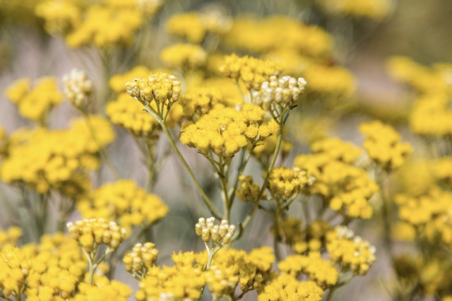 Helichrysum Benefits for the Body