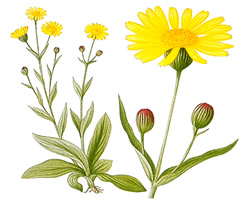 Use Arnica to ease carpal tunnel pain
